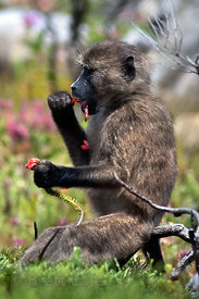A juvenile baboon from the Plateau Road troop eating Fire Heath, (Erica cerinthoides) in Smitswinkel Flats, Cape Peninsula, S...
