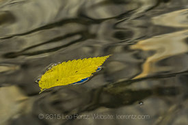 American Elm Leaf on the Merced River in Yosemite National Park