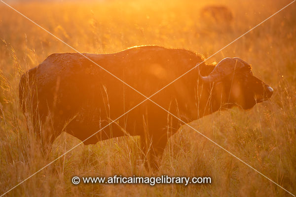 Buffalo at sunrise, Syncerus caffer, Kidepo Valley National Park, Uganda