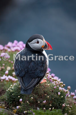 Atlantic Puffin (Fratercula arctica) on the cliffs of Sumburgh Head (RSPB), Mainland South, Shetland