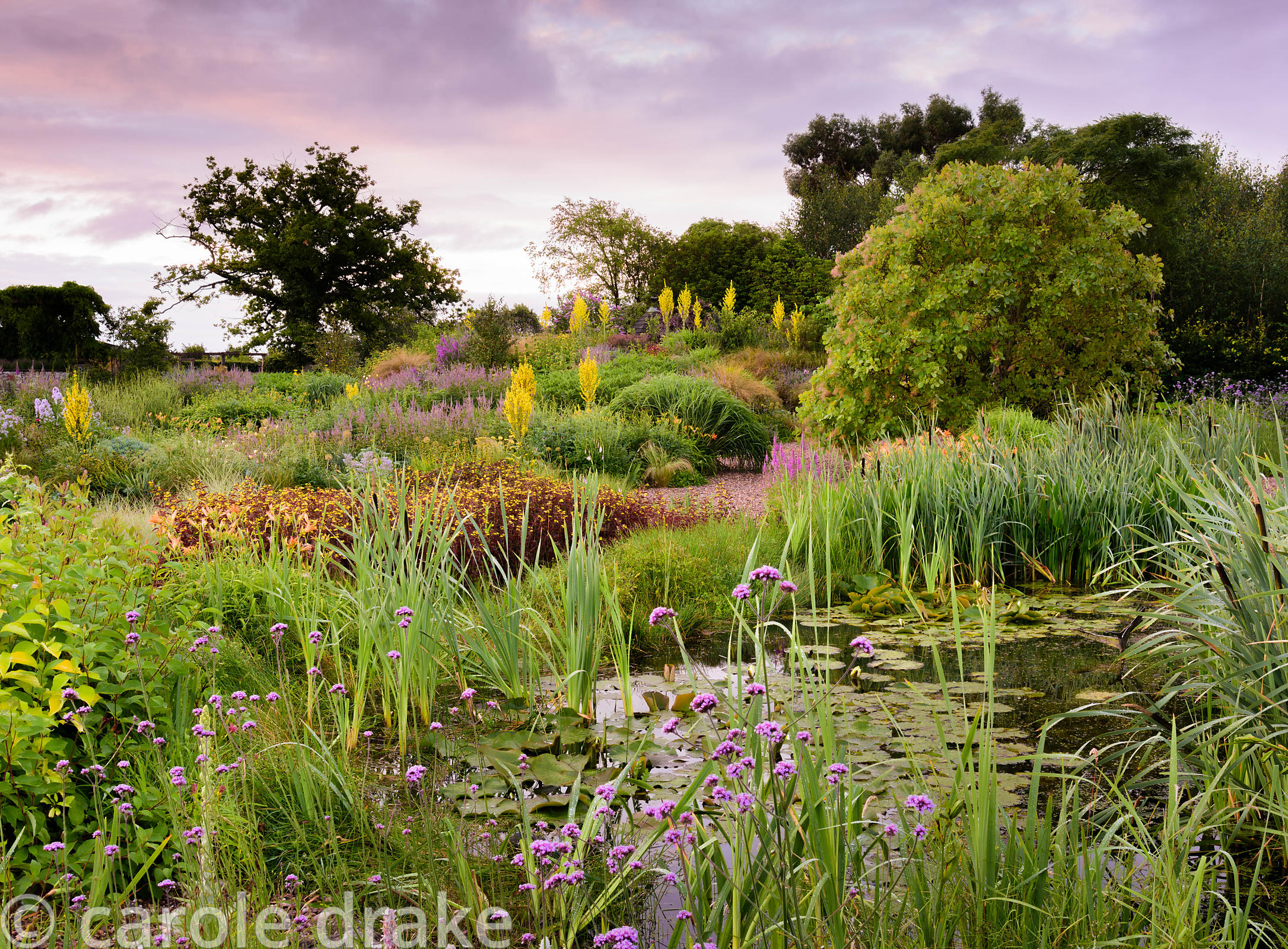 Pond in the gravel garden surrounded by bulrushes, Verbena bonariensis and dark leaved Lysimachia ciliata 'Firecracker', with...