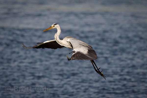Grey heron (Ardea cinera) in flight, Strandfontein, South Africa