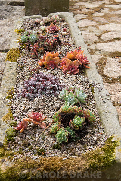 Variety of succulents planted in stone trough. Chygurno, Lamorna, Cornwall, UK