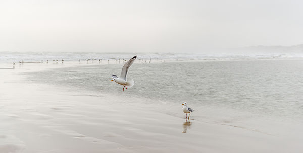 Danish seagulls on the coast 2