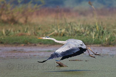 Fishing Great Blue Heron (Ardea herodias), Keoladeo National Park, Rajasthan, India