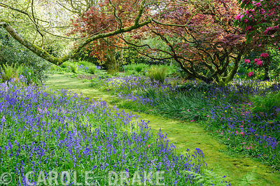 Path edged with blue bells carpeting the ground below acers in the South Garden. Trewidden Garden, nr Penzance, Cornwall, UK