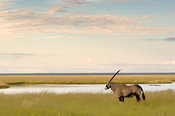 Gemsbok (Oryx gazella gazella ) at Etosha pan, Etosha National Park, Namibia