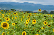 Sunflowers on the footslopes of Mount Elgon, Kitale, Kenya