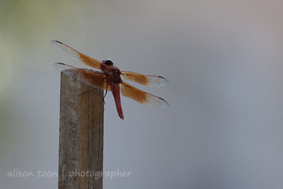 Orange dragonfly in Citrus Heights, California