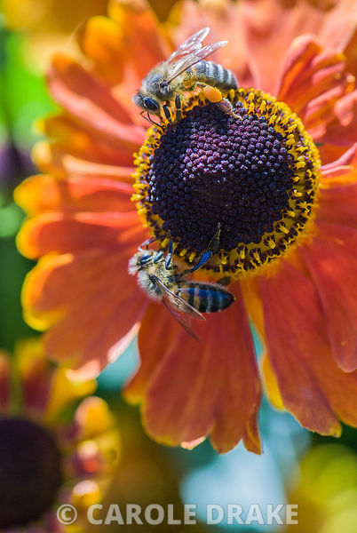 Helenium 'Sahin's Early Flowerer' with bees. Sir Harold Hillier Gardens/Hampshire County Council, Romsey, Hants, UK