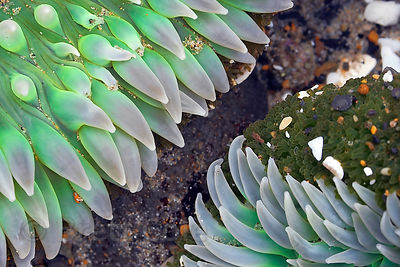 Macro detail of anemone in the tidepools of Strawberry Hill, Oregon Coast