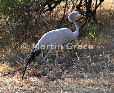 Blue Crane (Stanley Crane or Paradise Crane) (Anthropoides paradiseus), North West Province, Republic of South Africa