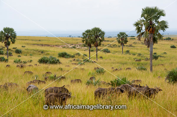 Herd of buffalo, Syncerus caffer between borassus palms, Murchison Falls National Park, Uganda