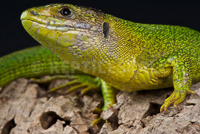 Balkan green lizard (Lacerta trilineata trilineata) photos