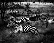4235-Harmony_of_zebras_Laurent_Baheux