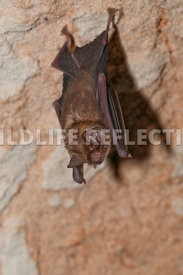 funnel_eared_bat_hanging_11