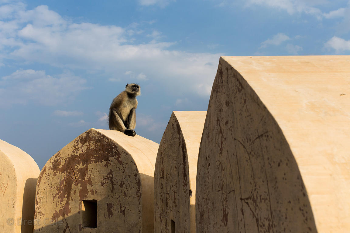 Langur monkey on ramparts at Taragarh Fort, Ajmer, Rajasthan, India