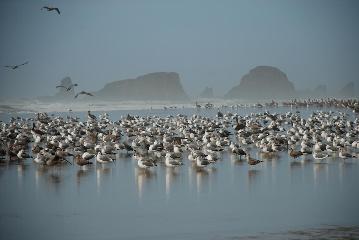 Birds flying at Cannon Beach, Oregon