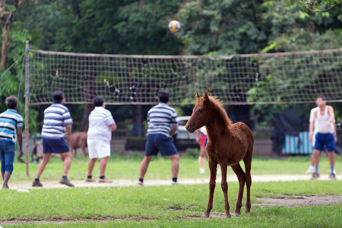 A wild baby horse near a volleyball game on the Maidan (Central Park), Kolkata, India