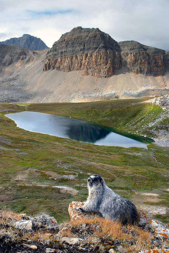 Hoary marmot overlooking Helen Lake, Banff NP, Canadian Rockies.