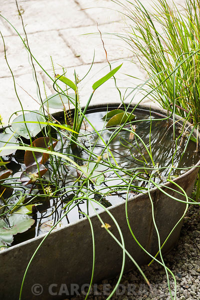 A galvanised bath used as mini water garden planted with  Juncus effusus f. spiralis, the corkscrew rush, and pygmy water lily.