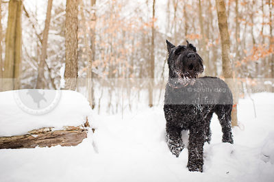 giant black schnauzer howling in winter forest