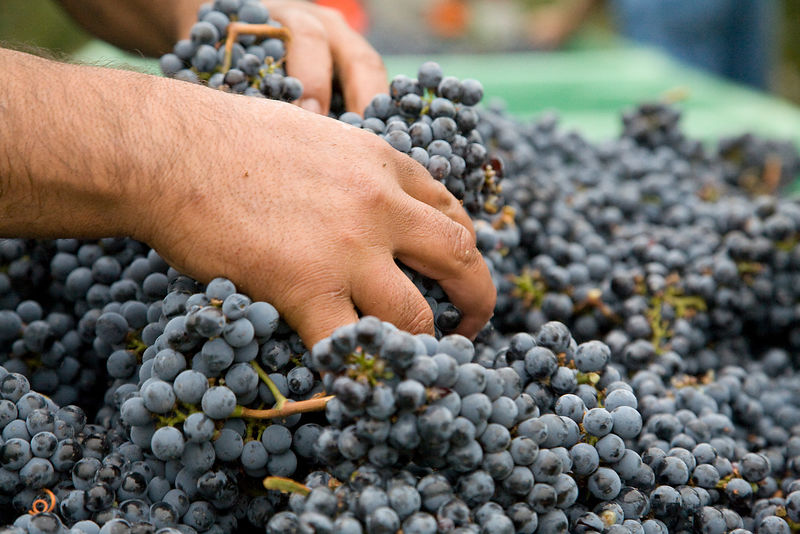 Man's hand grabbing harvested cabernet sauvignon grapes in Napa Valley