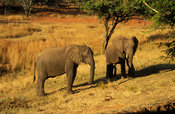African Elephants, Loxodonta africana africana, Cecil Kop Nature Reserve, Mutare, Eastern Highlands, Zimbabwe