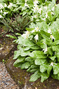Erythronium californicum 'White Beauty'. York Gate Garden, Adel, Leeds, Yorkshire