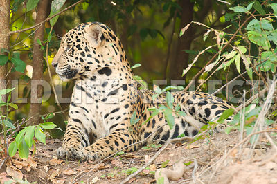 jaguar_forest_bank_rest-35