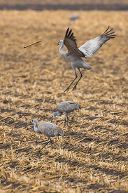 Sandhill Crane Tossing Stick Platte River Migration Stop in Nebraska