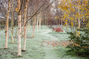 A winding path leads between groups of birch in the Birch Grove with pink tinged stems of Betula albosinensis 'Hergest' in th...