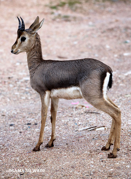 Wildlife - Palestine mountain gazelle