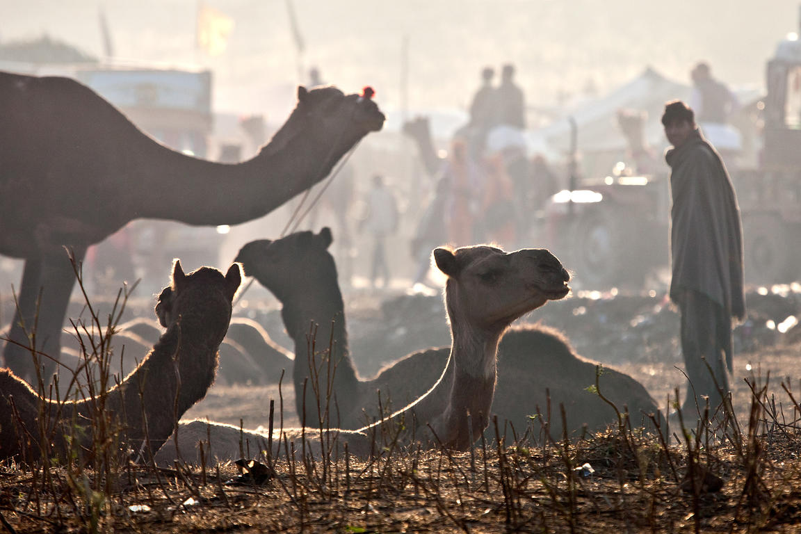 Camels backlit at sunrise, Pushkar, Rajasthan, India