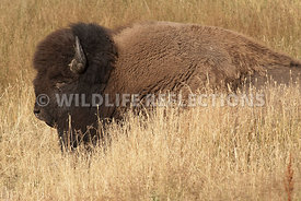 bison_sleeping_in_grass_2