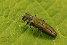 Agrilus species