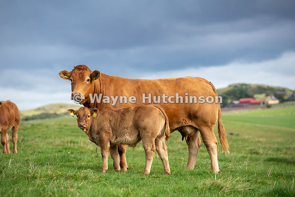 Herd of Limousin beef cattle in pasture in Scottish Borders, Scotland, UK.