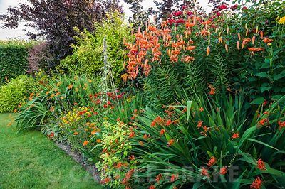 Hot border includes tall orange lily Lilium lancifolium, crocosmias, golden leaved Fuchsia 'Genii' and ladybird poppies, Papa...