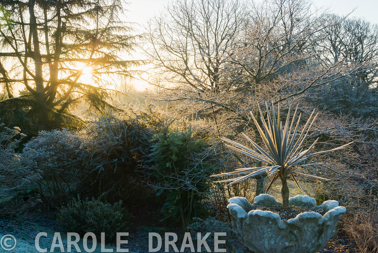 Frosty cordyline in urn with trees beyond. Kingston Maurward Gardens, Dorchester. Dorset, UK
