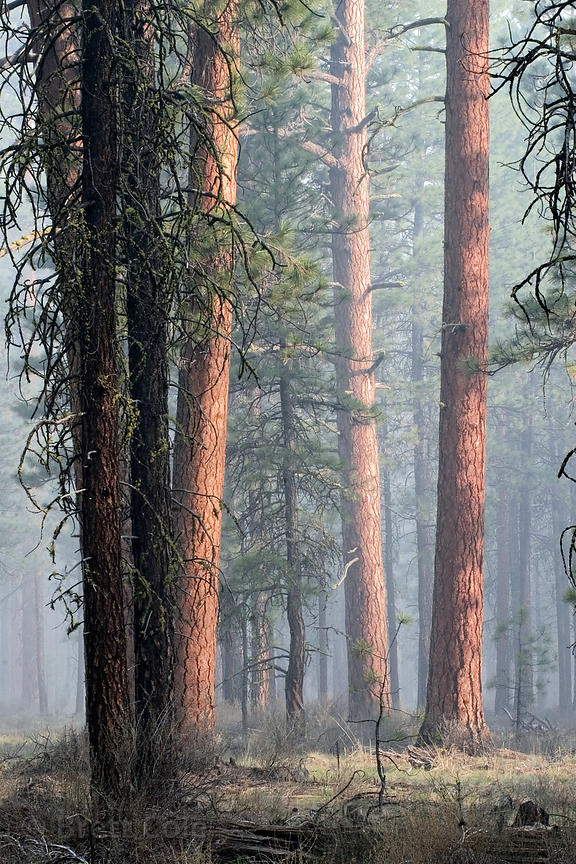 Early morning light filters through a stand of Ponderosa Pine undergoing a controlled burn, near Black Butte Ranch, Deschutes...