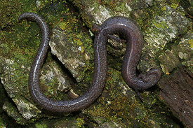 Batrachoseps species - Slender salamander, photographed in California , USA