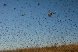 A helicopter of the Food and Agriculture Organization of the United Nations (FAO) flies through millions of Locusts as spread...