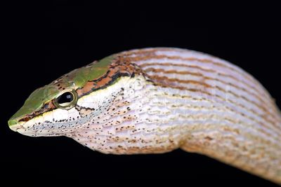 Savanna vine snake (Thelotornis capensis capensis)