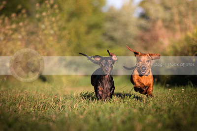 two intense little dogs racing running together in mowed grass