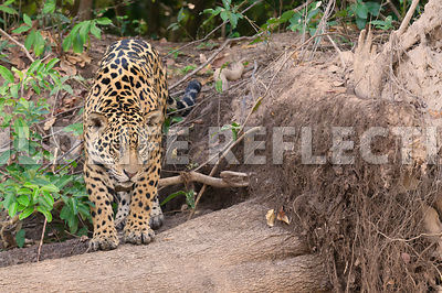 jaguar_onto_log09071306