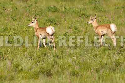 pronghorn_twins_meadow2010_0002