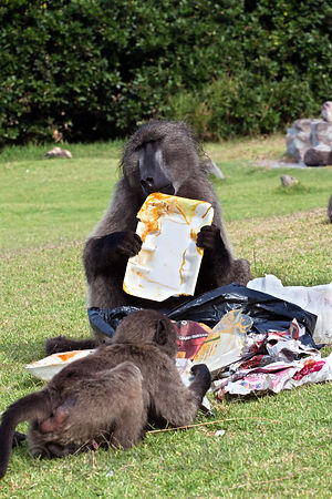 The alpha male baboon of the Buffels Bay troop eats garbage left behind by picnicers at Buffels Bay, Cape Peninsula, South Af...