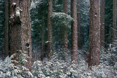 Snowy old-growth Douglas-fir forest along Lookout Creek, Oregon Cascades.