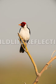 yellow_billed_cardinal_pantanal-12