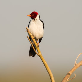 Yellow Billed Cardinal